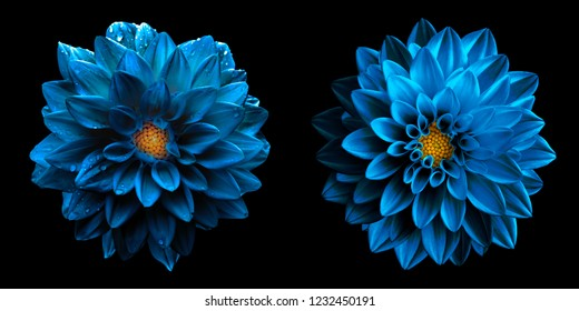 Surreal wet dark chrome sea blue dahlia flowers macro isolated on black. High detailed stock photo