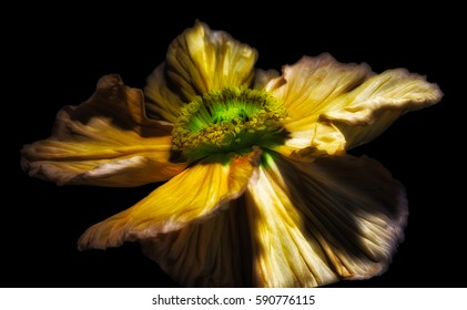 Surrealistic dreamy satin/silk poppy blossom,black background,floral fine art still life color macro portrait,isolated single yellow golden bloom,detailed texture, lucid dream,fantasy painting style