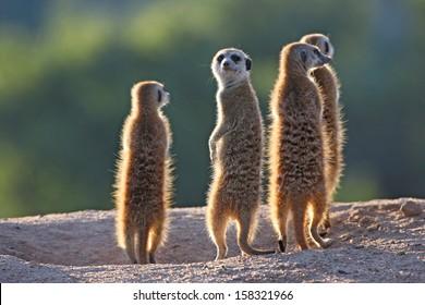 Surricate meerkats standing upright