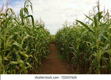 Surrounded by corn plants on all sides looking down a dirt path inside a corn maze in autumn with stalks reaching toward the sky that's partly blue with many puffy white clouds on a nice autumn day.