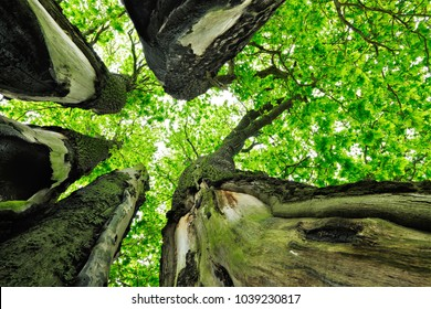 Surrounded by Mighty Oak Trees, looking up, low angle shot