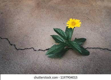 survival concept, Little yellow flower sprout grows through concrete cracking.