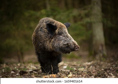 Sus scrofa. Free nature. Beautiful picture. Animal life. Wild nature of the Czech Republic. Animal in the forest. Deep forest.