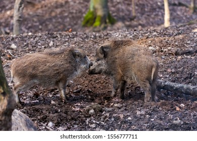Sus scrofa - wild boar in a pair sniffs in the forest.