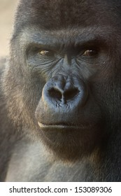 suspicious expression of a great gorilla