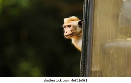 Suspicious toque macaque peeking out from the side of the jeep. Captured in Yala National Park, Sri Lanka.