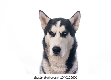 suspiciously screwed up eyes husky on white backgriound. Funny dog is watching you