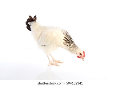 Sussex hen original from England on white background