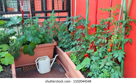 Sustainable agriculture such as growing red tomatoes and zucchini in pots on the terrace of the apartment and a yellow watering can