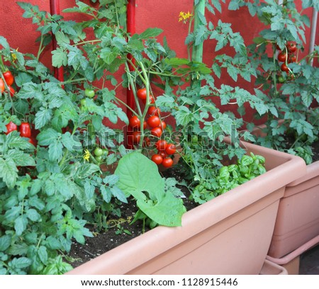 Sustainable and economic cultivation of tomatoes in the pots of the balcony of the house in the city and some plants with green leaves of basil