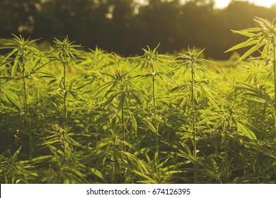 sustainable hemp industrial plantation