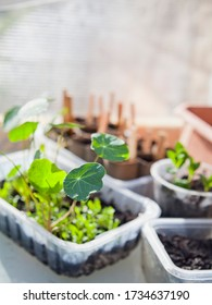 Sustainable hobby - creative greenhouse DIY idea.  Edible plants gradning in upcycled pots made from recycled plastic packiging.