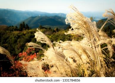 susuki grass miscanthus sinensis