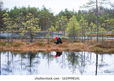 Suursoo raised bog / Estonia - January 19 2020: Young girl eating wild berries in marshland. Bog lake and bonsai size pine trees. Colorful turf land covered with peat mosses and swamp grass.