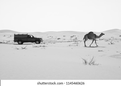 SUV car passing by a camel in the Empty Quarter desert of Arabian Peninsula