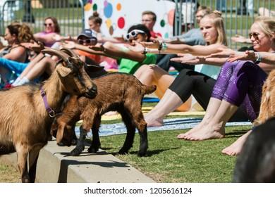Suwanee, GA / USA - April 29 2018:  Goats walk among people stretching in a free goat yoga class at Suwanee Towne Park on April 29, 2018 in Suwanee, GA.