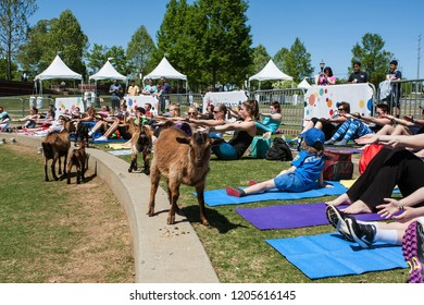 Suwanee, GA / USA - April 29 2018:  Goats walk along a curb in front of people stretching in a free goat yoga class at Suwanee Towne Park on April 29, 2018 in Suwanee, GA.
