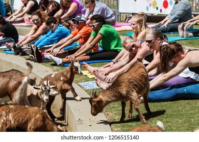 Suwanee, GA / USA - April 29 2018:  Goats walk along a curb in front of people stretching in a free goat yoga event at Suwanee Towne Park on April 29, 2018 in Suwanee, GA.