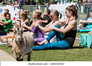 Suwanee, GA / USA - April 29 2018:  A goat stands among women stretching in a goat yoga event at a public park on April 29, 2018 in Suwanee, GA.