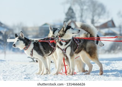 Suzdal, Russia - February 24, 2018: Dog sled racing. Husky racing dogs waiting for the start of the competition.