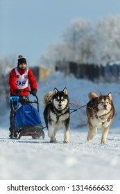 Suzdal, Russia - February 24, 2018: Dog sled racing. Two racing dogs pull the sleigh through the snow.
