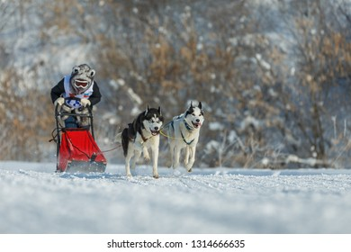 Suzdal, Russia - February 24, 2018: Dog sled racing. Two racing dogs pulling a sleigh.