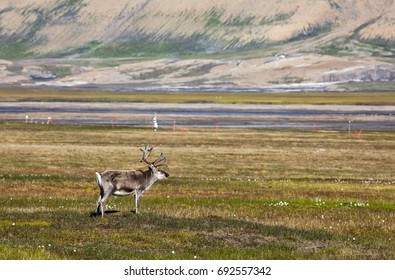 Svalbard reindeer standing on the tundra in summer at Svalbard