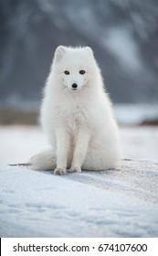 Svalbard - Renard Polaire - Arctic Fox