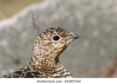 Svalbard Rock ptarmigan, female with summer plumage, Svalbard, close up