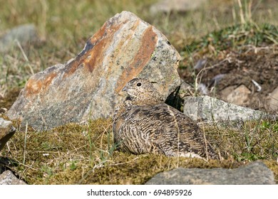 Svalbard Rock ptarmigan, female with summer plumage, lying on ground in summer, Svalbard