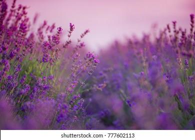 Sviolet lavender field. pink sky