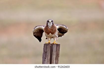 Swainson Hawk Canada