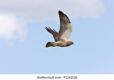 Swainson Hawk in Flight Canada
