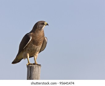 Swainson Hawk perched on post in Saskatchewan Canada