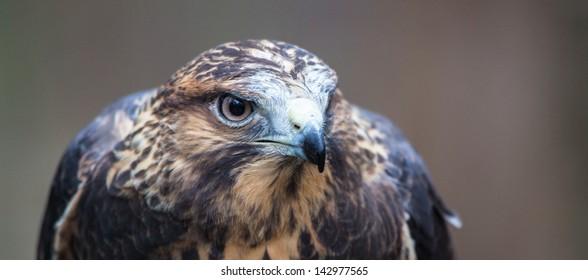 A Swainson's Hawk on the glove at the Carolina Raptor Center.