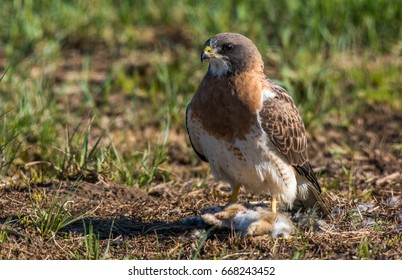 Swainson's Hawk with Rabbit