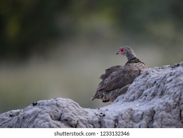 Swainsons Spurfowl  on rock