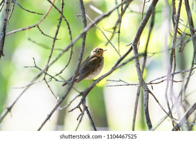 Swainson's Thrush (Catharus ustulatus) Perched in a Tree in Colorado