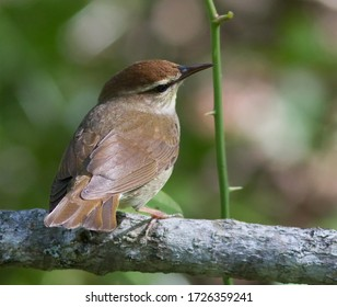 Swainson's warbler is a small species of New World warbler. It is monotypic, the only member of the genus Limnothlypis. Swainson's warbler was named after William Swainson, an English ornithologist.