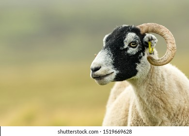 Swaledale ewe, female sheep with curly horns in summer with shorn fleece and facing left. Close up. Blurred, clean background. Swaledale sheep are native to North Yorkshire. Horizontal, Space for copy