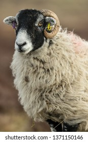 Swaledale Ewe (female sheep) in the Yorkshire Dales, England, UK Swaledale sheep are native to North Yorkshire. Facing to the left,  Blurred background. Portrait, vertical.