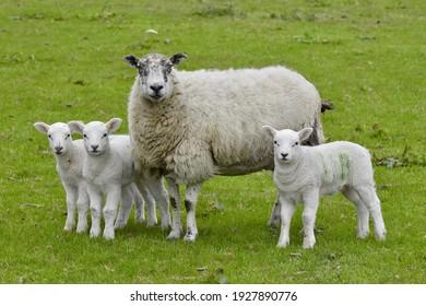 Swaledale ewe with her lambs