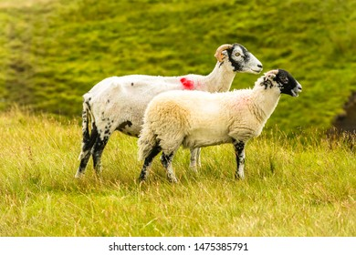 Swaledale Ewe  with shorn fleece, facing right with well grown lamb at foot in beautiful Swaledale, Yorkshire Dales, England.  Blurred  background with green fields. Horizontal.  Space for copy.