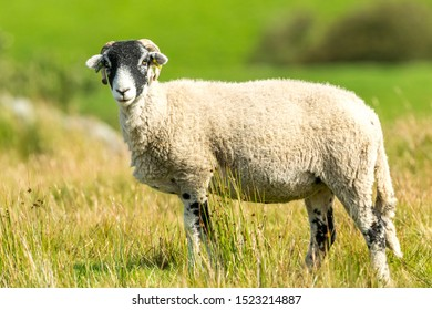 Swaledale ewe, single female sheep, with curly horns in Autumn, stood in moorland habitat.  Facing left.  Close up. Blurred, clean background.  Horizontal, Space for copy.