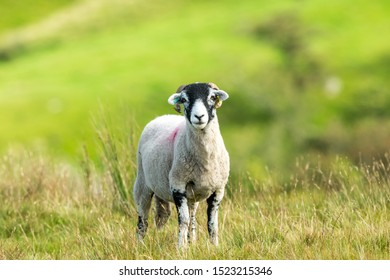 Swaledale ewe, a single, female sheep, with curly horns in Autumn, stood in rough moorland habitat.  Facing forward. Close up. Blurred, clean background.  Horizontal, Space for copy.