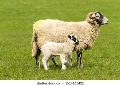 Swaledale ewe with single lamb at foot.  Facing right in green pasture.  Swaledale sheep are native to North Yorkshire, England.  Horizontal. Space for copy.