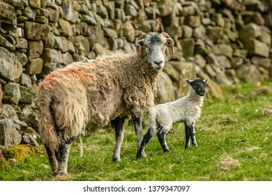 Swaledale Ewe in Springtime with one single, newborn lamb.  Drystone Walling in the background.  Yorkshire Dales, England, UK  Landscape, Horizontal.  Space for copy.