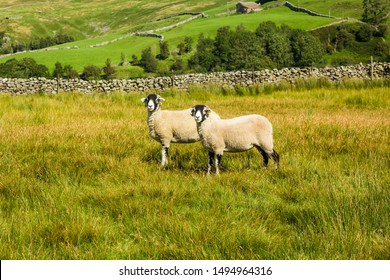 Swaledale Ewes.  Two ewes stood in hill meadow in late summer.  Facing forward. Beautiful Yorkshire Dales scenery in the background.  Horizontal.  Space for copy.