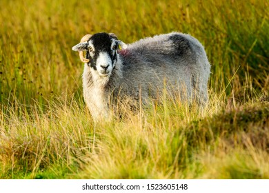 Swaledale sheep, a ewe, or female sheep stood in rough pasture land in Yorkshire Dales.  Facing forwards.  Landscape, Horizontal, Space for copy.  The Swaledale Breed is native to North Yorkshire.