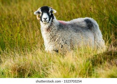 Swaledale sheep, a ewe, or female sheep stood in rough pasture land in Yorkshire Dales.  Facing left.  Landscape, Horizontal, Space for copy.  The Swaledale Breed is native to North Yorkshire.